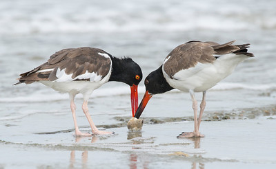 American Oystercatchers Texas City Dike, TX