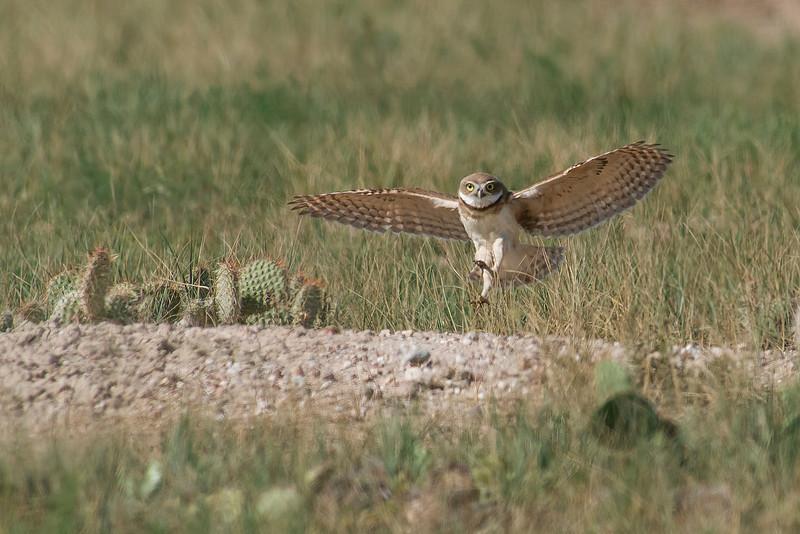 Burrowing Owl Northern CO