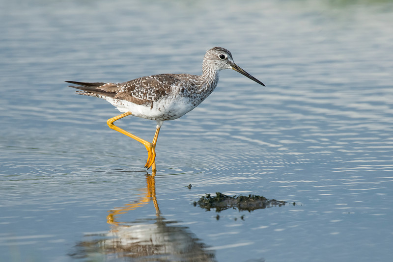 Greater Yellowlegs Galveston, TX