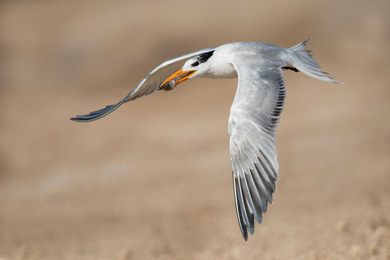 Royal Tern with Fish Freeport, TX