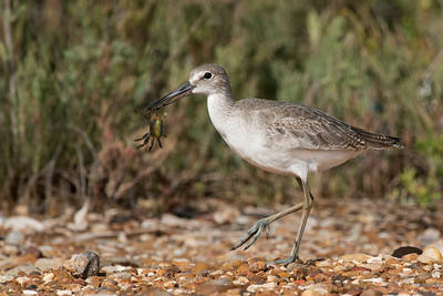 Willet with Crab Freeport, TX