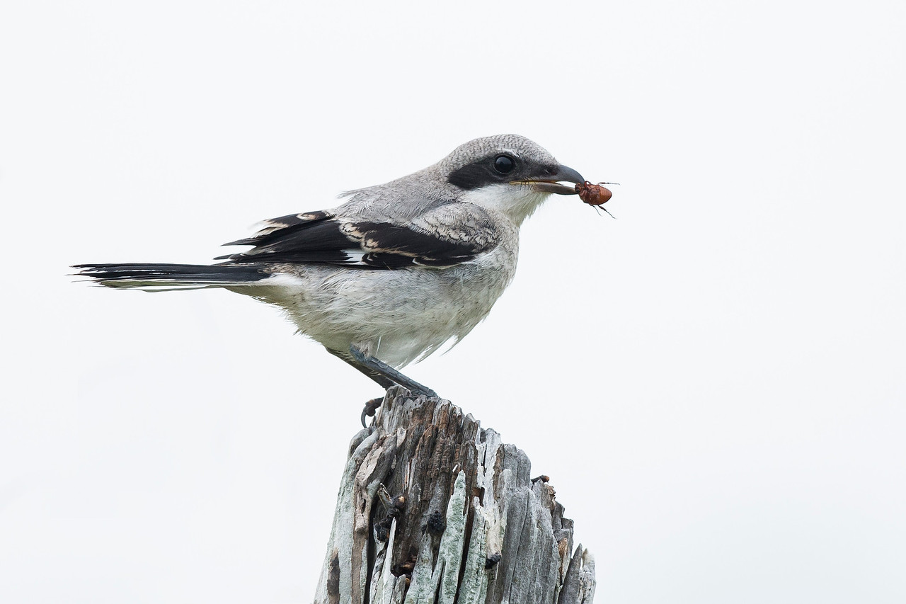 Loggerhead Shrike West Galveston Island, TX