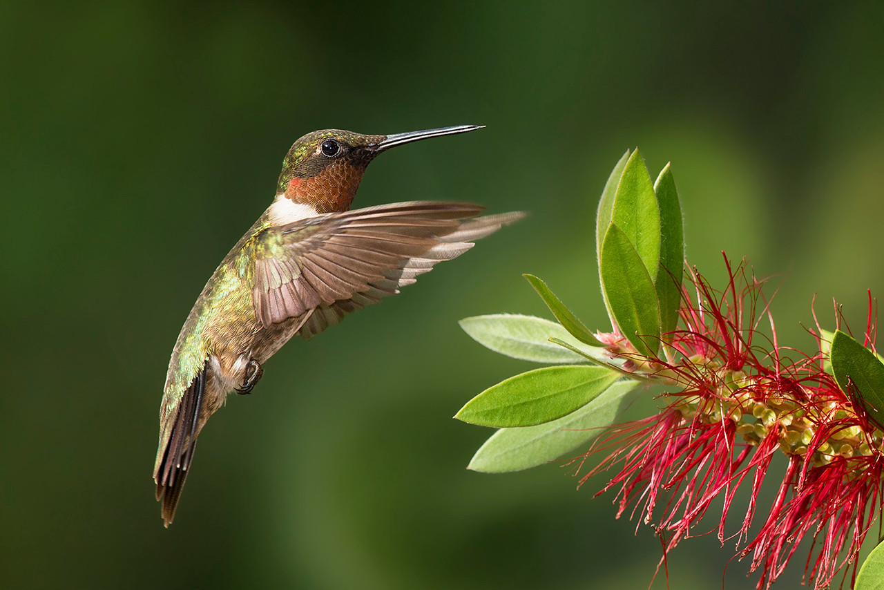 Ruby-throated Hummingbird Sugar Land, TX