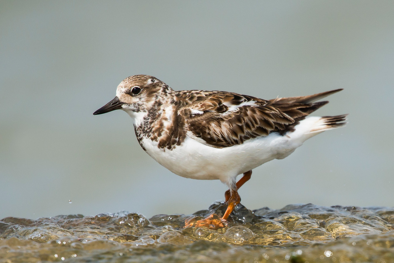 Ruddy Turnstone Texas City Dike, TX
