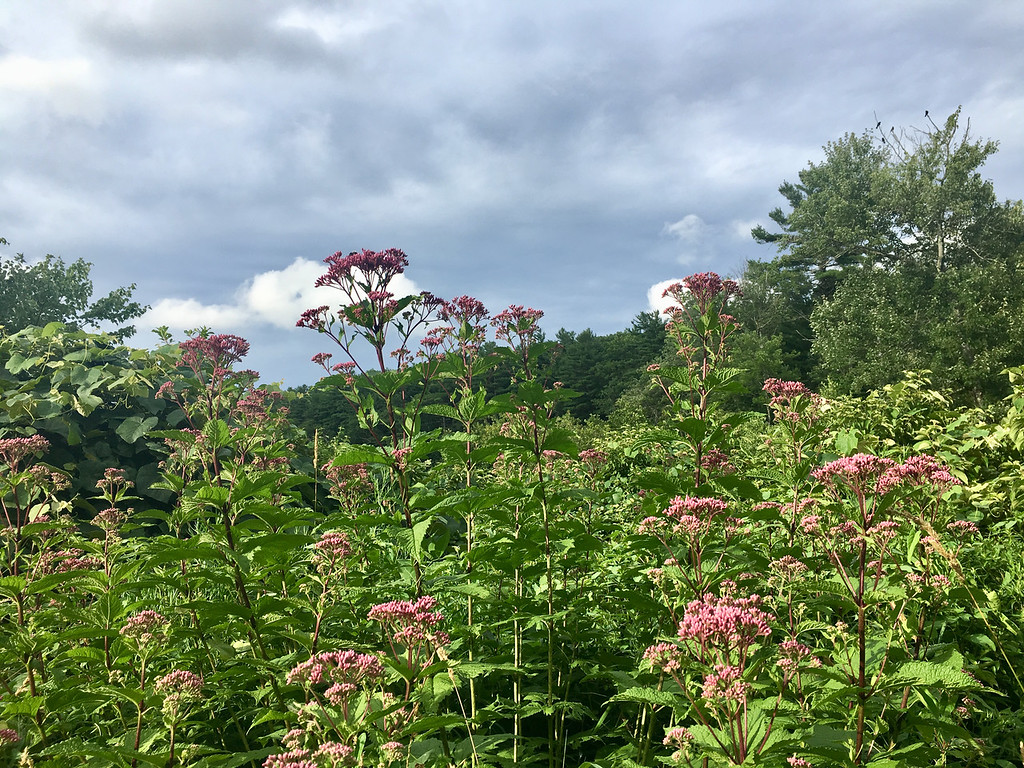 . A field of Asclepias, commonly known as swamp milk weed, seemed to reach into the cloud-dotted sky over the Shawsheen River in Billerica. Photo by Mary Leach