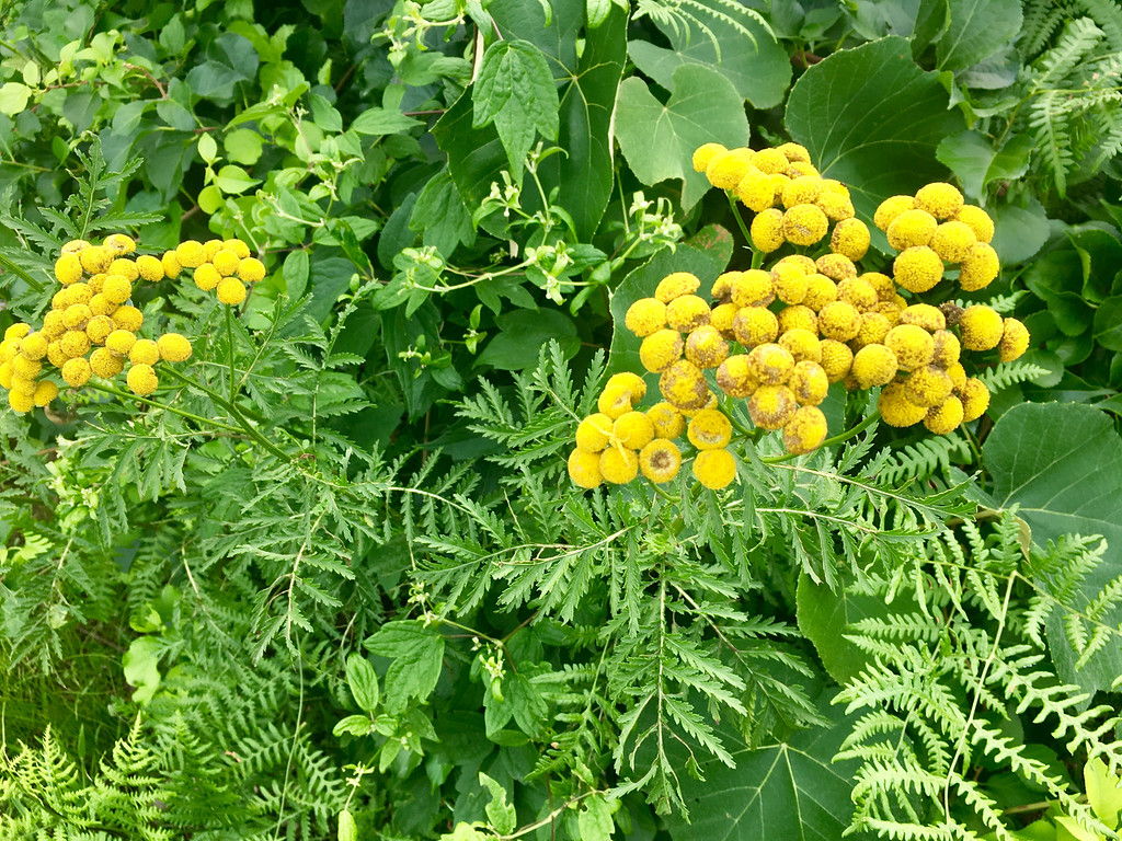 . Tanacetum vulgare, or common tansy, looked like golden buttons. Photo by Mary Leach