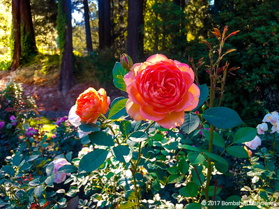 International Rose Test Garden, Portland, Oregon