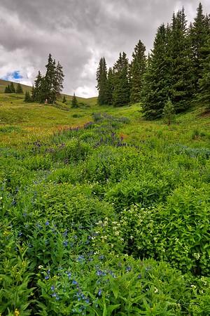 Boreas Pass Trail Wildflowers ~ Colorado
