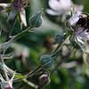 Bee collecting nectar on evergreen blackberry