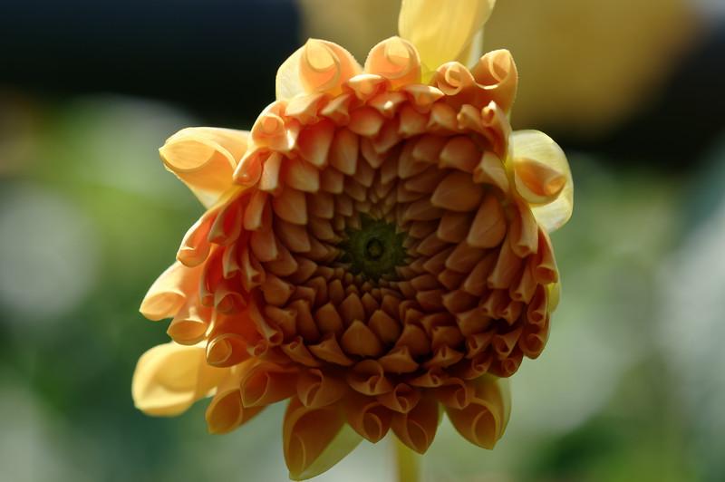 Backlit dahlia closeup