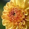 Near-open dahlia flower, closeup