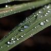 Sun-lit raindrops rolling on  montbretia leaf