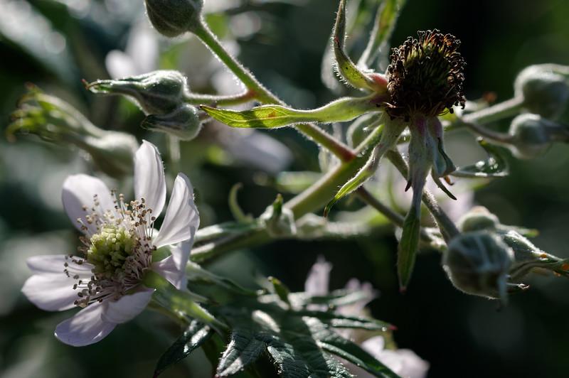 Flowers of cutleaf evergreen blackberry, various stages