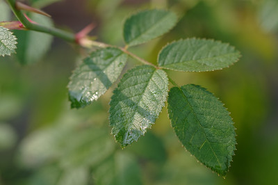 Tender rose leaves with traces of rain