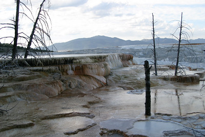 These trees picked a very poor place to grow.  Mammoth Hot Springs, Yellowstone National Park.