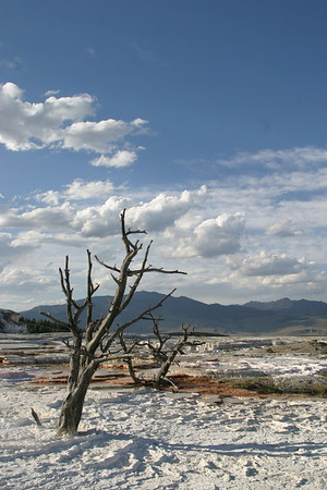 Dead pines at Mammoth Hot Springs, a second view.