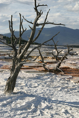 Dead pines and calcified salts, Mammoth Hot Springs, Yellowstone National Park.