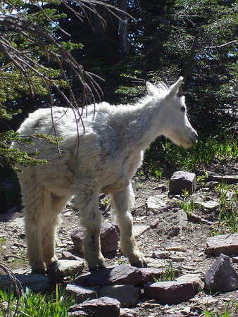 A baby unicorn.  Or perhaps a mountain goat. Glacier National Park.