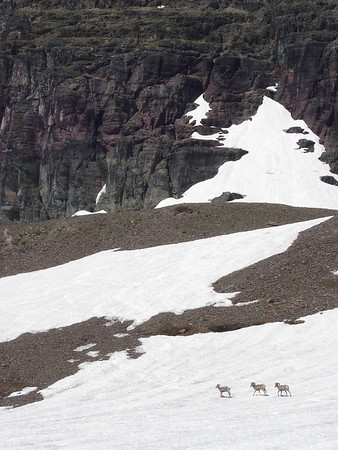 Three big horn sheep cross a snowfield atop Logan Pass. Glacier National Park.