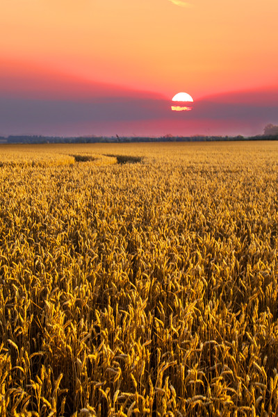 Corn Sunset