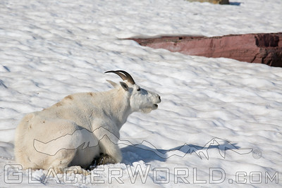 Mountain goats in Glacier National Park.