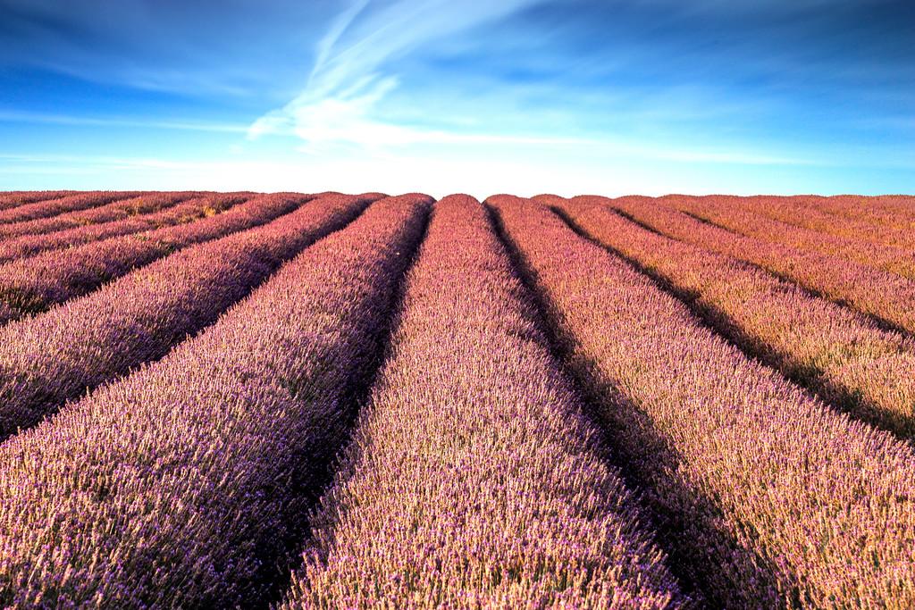 Ickleford lavender farm