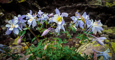 Columbine | Holy Cross Wilderness, CO