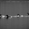 Loons at Murtle Lake