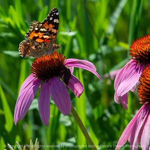 015-butterfly-wdsm-30jul19-03x03-006-400-2445