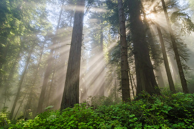 Redwoods Morning