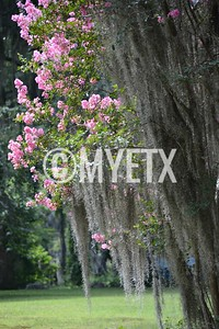 Crape Myrtles & Spanish Moss