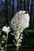 Beargrass blooms in the Montana summertime.