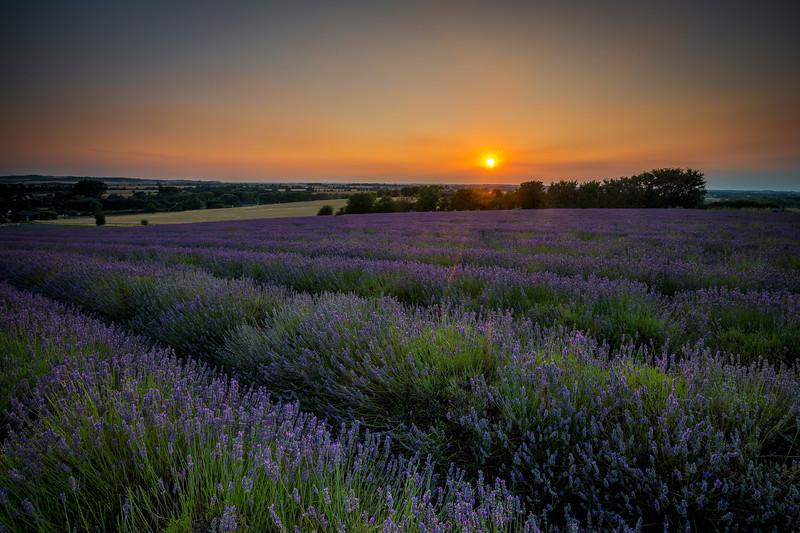 Lavender field sunset
