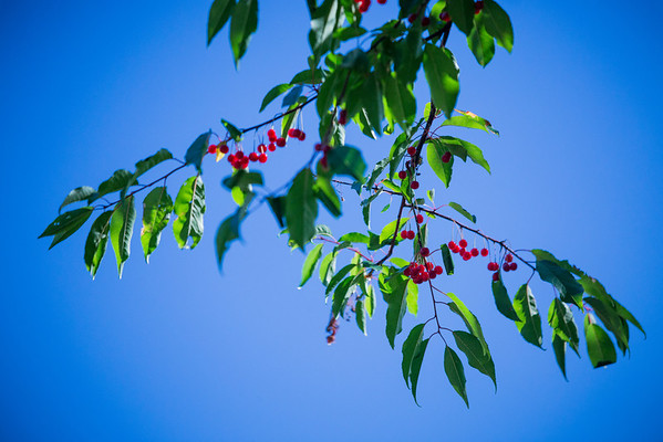 Dangling Pin Cherries at Blue River
