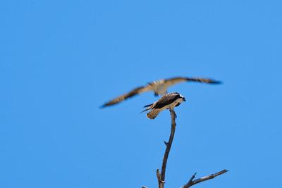 Osprey ducking from osprey