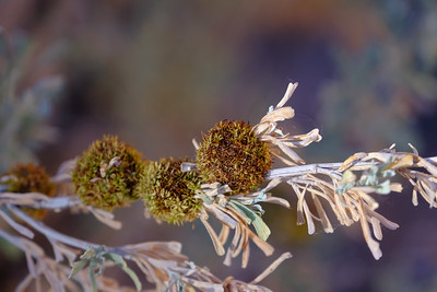 Galls of the gall midge  (Rhopalomyia medusa) on sagebrush