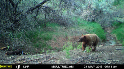Red headed blonde black bear