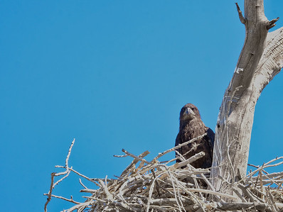 Eaglet on nest