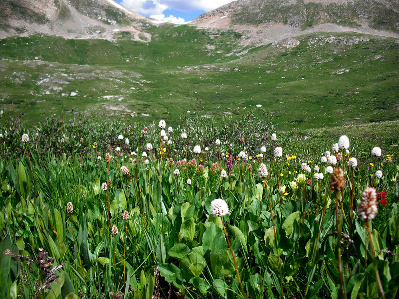 Magnificent wildflowers on trail up to Lost Man Lake. Trailhead starts around 11,350 ft. altitude and you ascend to over 12,000 ft. before it's done. We hiked Lost Man Trail on July 25, 2010.