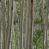 Aspen Grove: I admit a real fascination for these magnificent groves. The color changes as the light changes, but that pure white glimmering bark is exquisite. I'll be experimenting throughout the summer to find the best way to capture them.