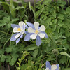 Colorado's state flower: blue columbine. They were all over the place--as the next photo shows.