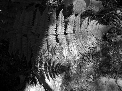 Fern shadow BW
