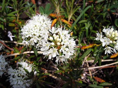 Alpine flora 2