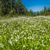 Meadow of Avalanche Lilies