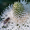 Bee on Beargrass