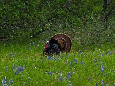 Spring Gobbler