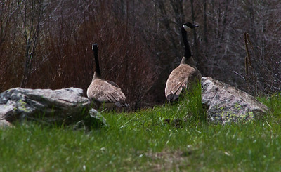 Rock Geese