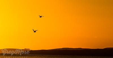 Morning Gull Flight