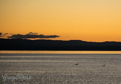 Swan Silhouette