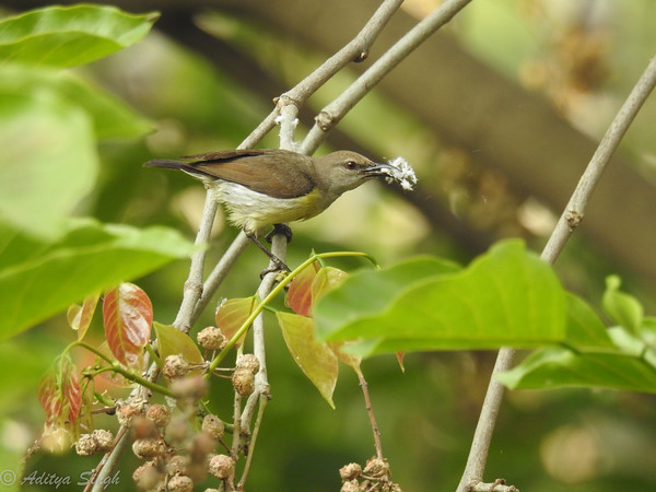 Purple-rumped Sunbird female